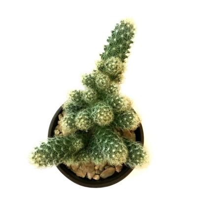 Mammillaria Elongata - Golden Star Cactus, Lady Finger Cactus
