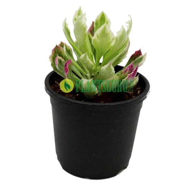 monadenium-stapelioides-variegated Plant