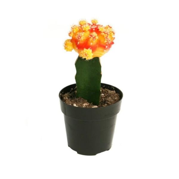 Moon Cactus Orange - Grafted Colorful Cactus