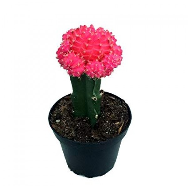 Moon Cactus Pink - Grafted Colorful Cactus