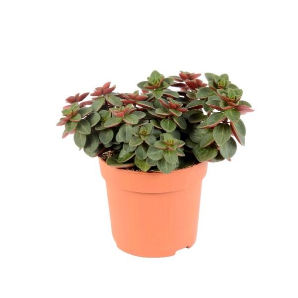 Peperomia Rubella Plant