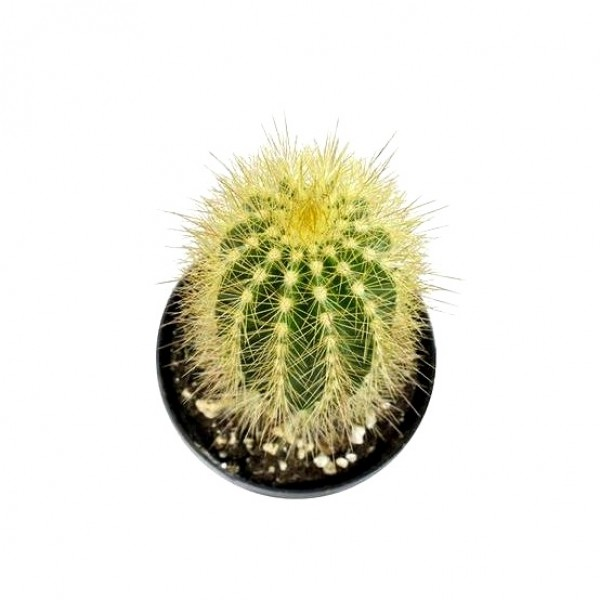 Austrocephalocereus Estevesii Cactus Plant