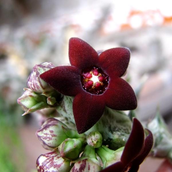 Caralluma Hesperidum Cactus