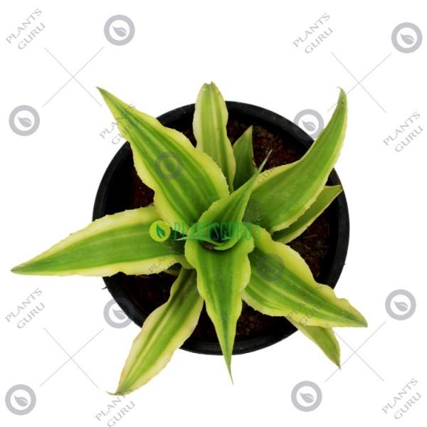 Cryptanthus Mini Green - Green Star, Earth Star Plant
