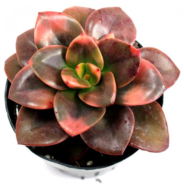 Echeveria Chroma