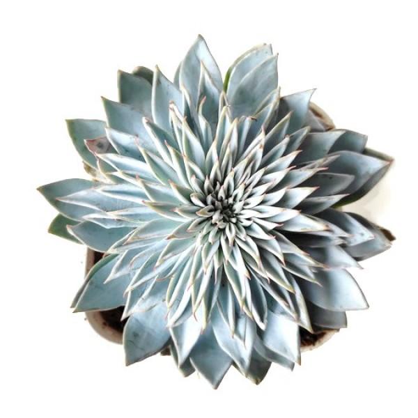 Echeveria Silver Star