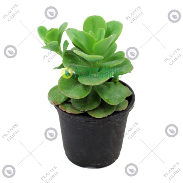Echeveria Green Spoon
