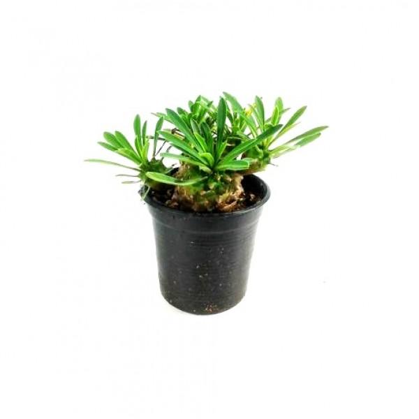 Euphorbia Bupleurifolia Plant