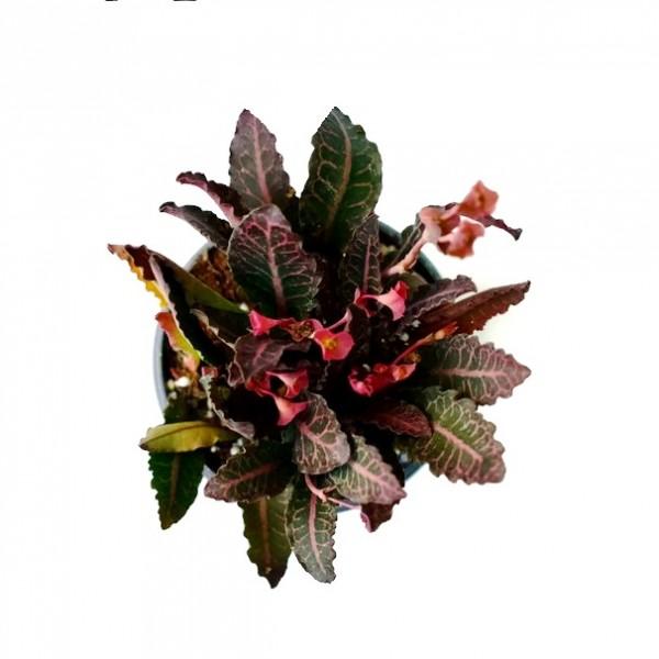 Euphorbia Francoisii Red