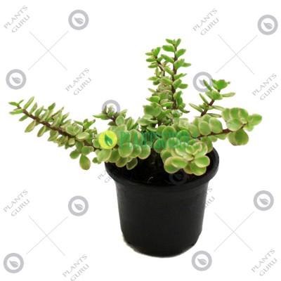 Jade Plant Variegated - Elephant Bush Plant, Portulacaria Afra Variegated, Lucky Plant
