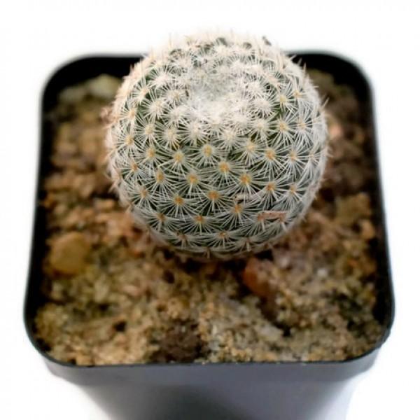 Mammillaria Elegans - Cactus Plant