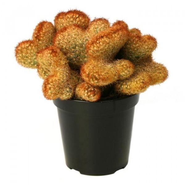 Mammillaria Elongata Cristata Cactus Plant