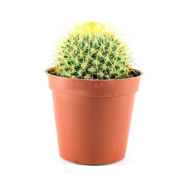 Notocactus Golden Ball Cactus