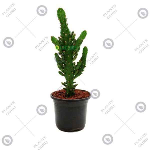 Opuntia Horrida Plant - Bunny Ear Cactus