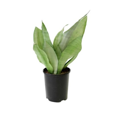Sansevieria Moonshine, Snake Plant - Mother in Law Tongue Plant
