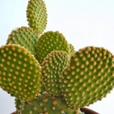 Opuntia Microdasys Plant - Bunny Ear Cactus Yellow