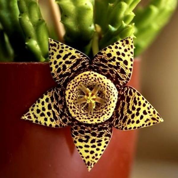 Stapelia Variegata Cactus