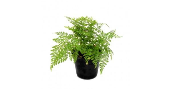 Buy Davallia Bullata Fern Plant online at cheap price on