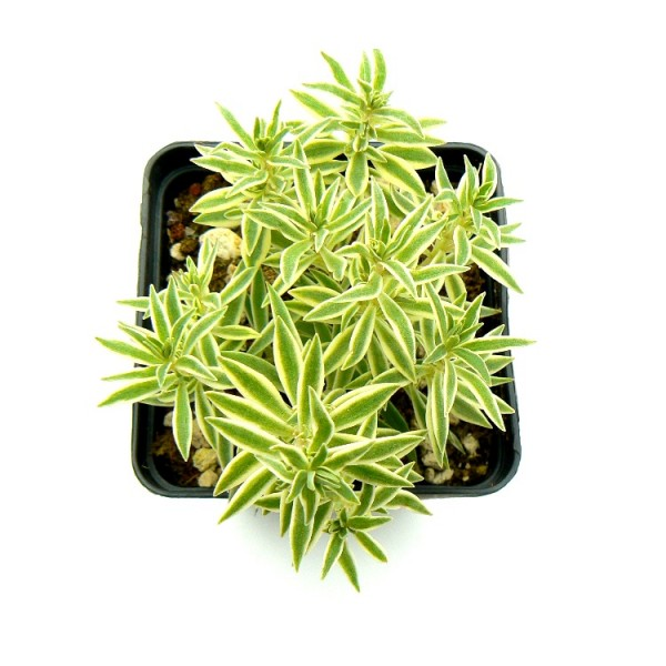 Sedum Lineare Succulent Plant