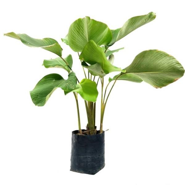 Marantha Lutea - Calathea Lutea Plant