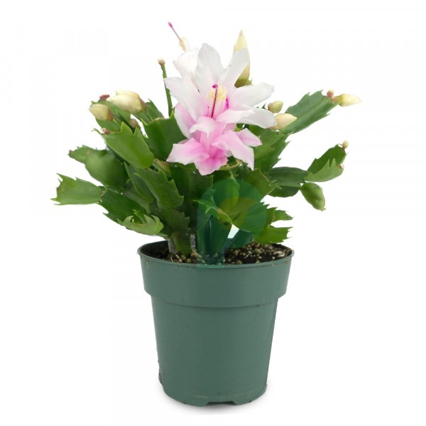 Christmas Cactus White Flower Plant
