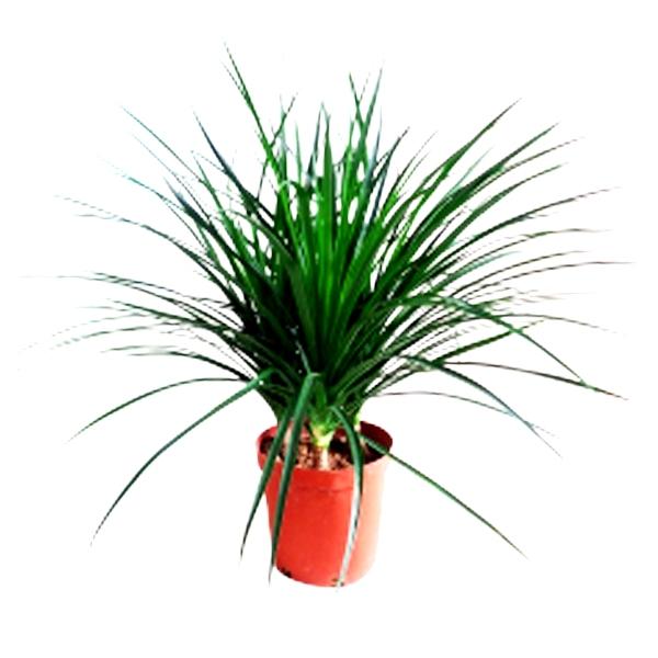 Dracaena Combodiana Plant