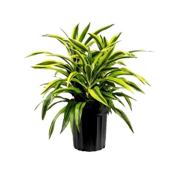 Dracaena Victoria Plant