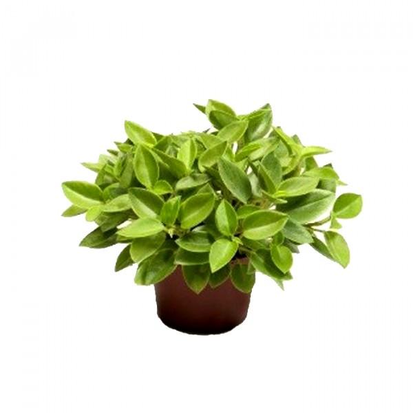 Peperomia Orba Pixie Plant
