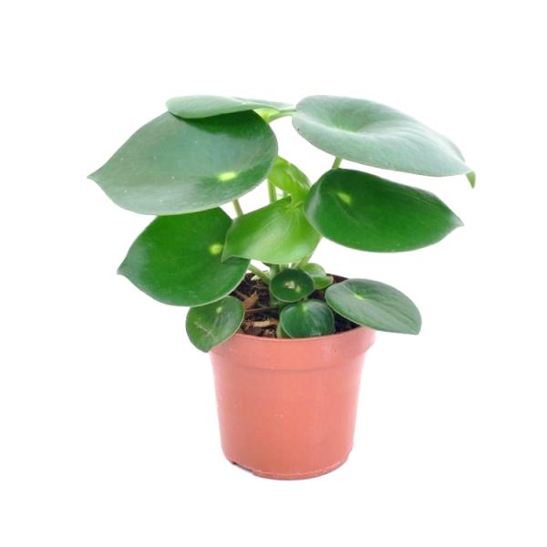 Peperomia Polybotrya Raindrop Plant