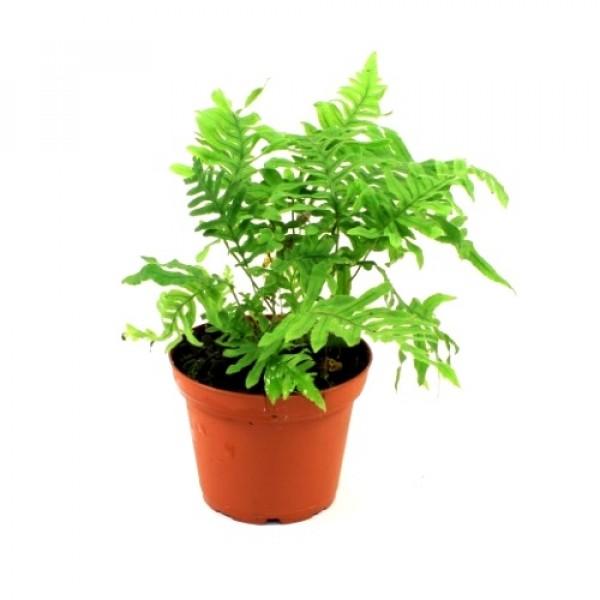 Polypodium Formosanum Fern Plant