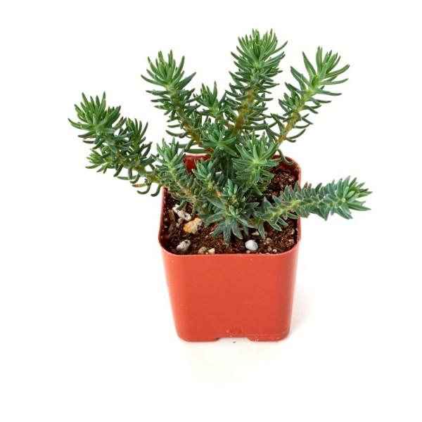 Sedum Reflexum Succulent Plant