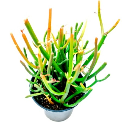 Euphorbia Tirucalli Plant - Pencil Tree, Firestick
