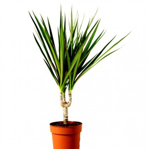 Dracaena Draco Plant