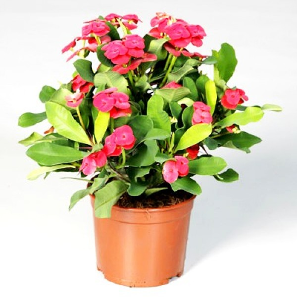 Euphorbia Orange Plant - Crown of Throns, Euphorbia Milii