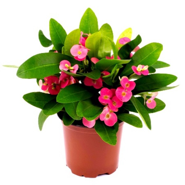 Euphorbia Pink Plant - Crown of Throns, Euphorbia Milii