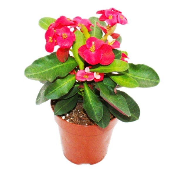 Euphorbia Red Plant - Crown of Throns, Euphorbia Milii