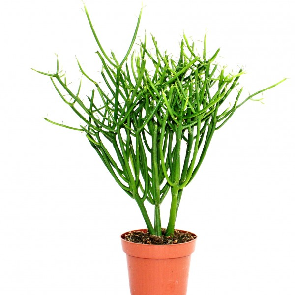 Euphorbia Tirucalli Plant - Pencil Tree, Firestick