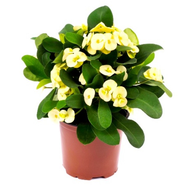 Euphorbia Yellow Plant - Crown of Throns, Euphorbia Milii