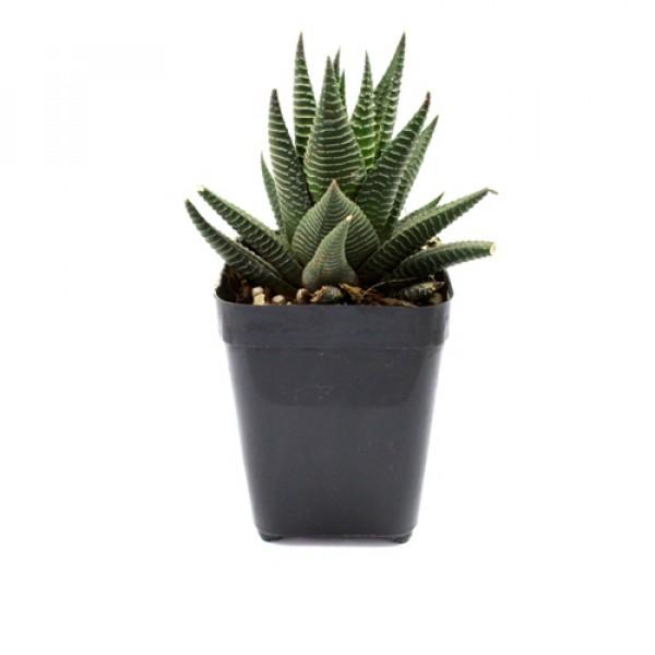 Haworthia Limifolia Var