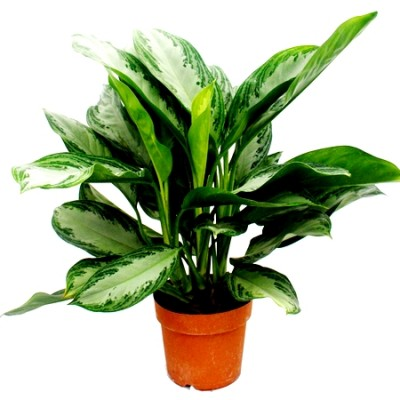 Aglaonema Green Plant - Chinese Evergreen