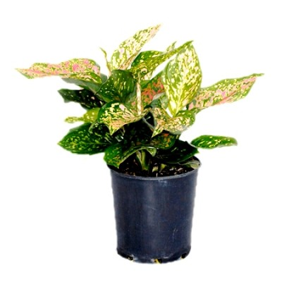 Aglaonema Red Mix - Aglaonema Lady Valentine, Chinese Evergreen