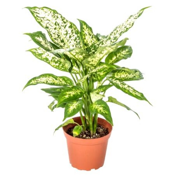 Aglaonema Snow White - Chinese Evergreen