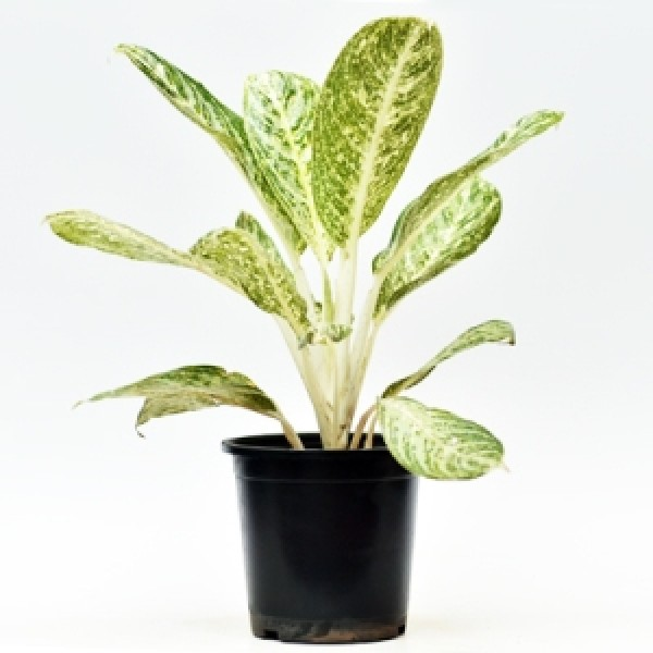 Aglaonema White Dust
