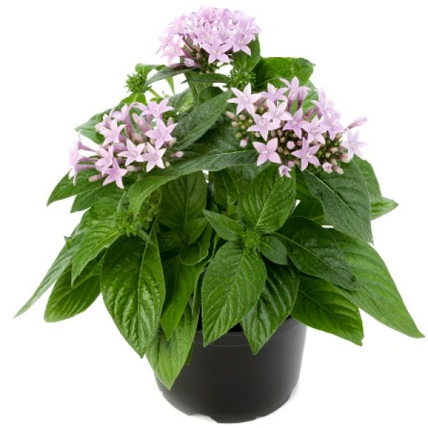 Pentas Purple Plant - Pentas Lanceolata, Starcluster
