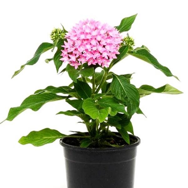 Pentas Pink Plant - Pentas Lanceolata, Starcluster