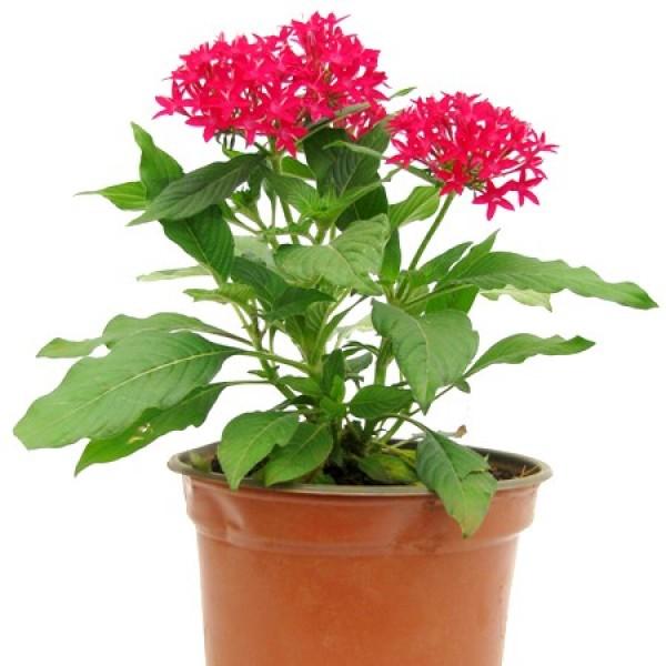 Pentas Red Plant - Pentas Lanceolata, Starcluster