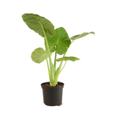 Alocasia Green - Elephant Ear Plant