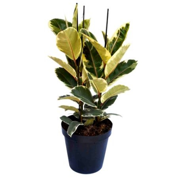Ficus Elastica - Baby Rubber Plant Variegated