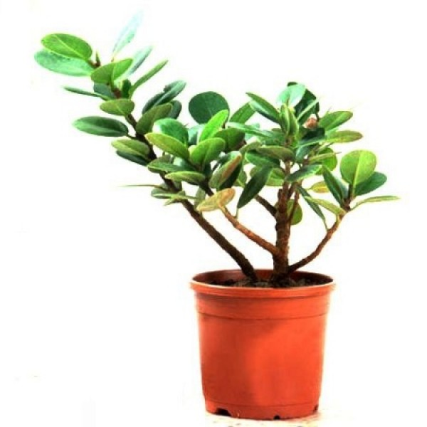 Ficus Iland Dwarf Plant - Ficus Benjamina, Weeping Fig
