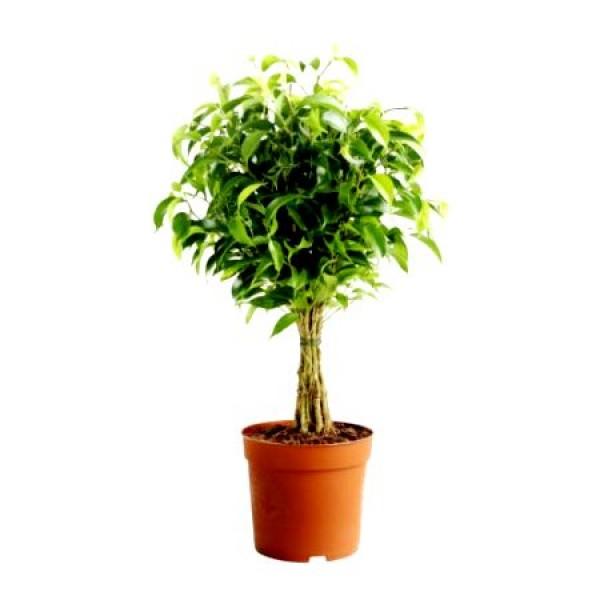 Ficus Panda - Ficus Benjamina, Golden Ficus, Weeping Fig